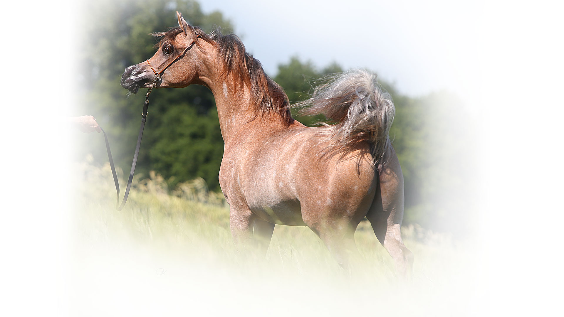 Most beautiful arabian horses